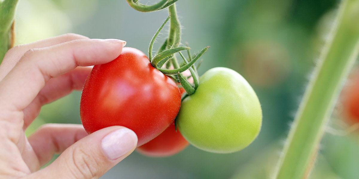 raccolto biologico